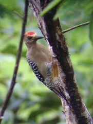 Birding in Montezuma Costa Rica - JC's Journeys
